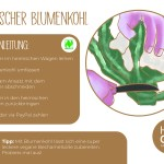Blumenkohl_einzeln_RZ17