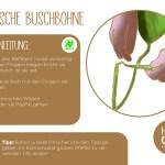 Buschbohne_einzeln_RZ14
