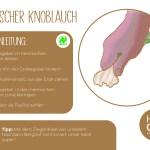 Knoblauch_einzeln_RZ7