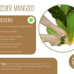 Mangold_ernte