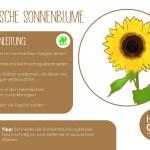 Sonnenblume_einzeln_RZ9